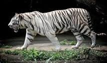 tigrebianca
